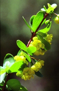 Berberis hispanica