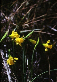 Narcissus nevadensis subsp. enemeritoi